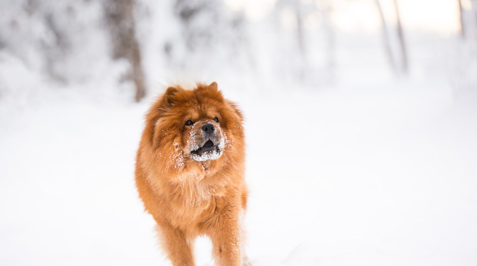 A Chow Chow Winter Wonderland | Eagle River Dog Photographer | Marilyn Jeffers Photography
