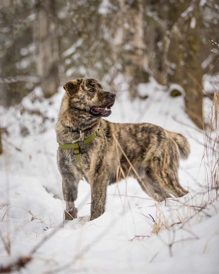 Dog_Photographer_Anchorage_Alaska-26